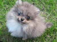Beautiful Pomeranian puppies, with a registration