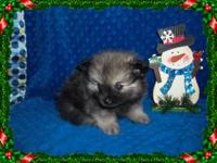 Purebred Pomeranian Puppies with huge fluffy coats and