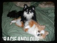 We have a few gorgeous AKC registered very exotic
