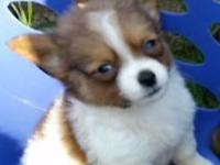 Foxi is a male Pomeranian puppy, with a white coat, and