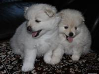 Very beautiful white Pomeranian puppies. Two boys. The