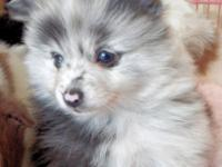 6 1/2 week old male blue merle, ACA registered.Wormed &