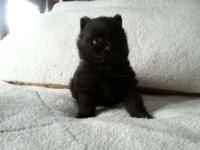 We have a Black Male AKC Registered Pomeranian Puppy.