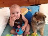 I have a 12 week old male Pomeranian with papers, he is