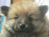 WOLF SABLE MALE POMERANIAN. BORN NOVEMBER 20, 2012. UP