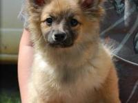 Looking for a new home for a 15 week old Pomeranian,