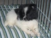 I currently have 1 male Pomeranian puppy (TOY SIZE).