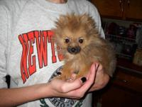 Sable color male pomeranian puppy, 18 weeks old, born