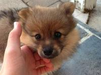 I have a pomeranian puppy who just turned 8 weeks old.