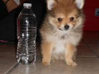 Pomeranian Puppy for Sale Red Sable Male Current on