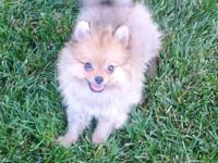 Male Pomeranian puppy. 10 weeks old. Charming, Fluffy,