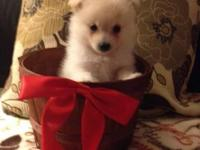 I am a male Pomeranian. I am available Nov 22 to go to