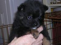 Male Black/Tan Pomeranian Puppy. Ready for his