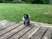 10 week old Merle Pom. Ckc registered and current on