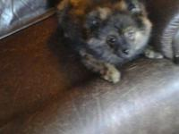 Born March 10, 2015 Nice silky double coated BRINDLE,
