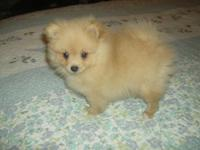This cute little Pomeranian would be a good companion