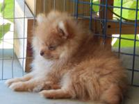 I have a gorgeous little sable boy Pomeranian who is