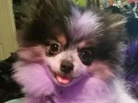 Tri colored 11 month old 4 lb female Pomeranian puppy