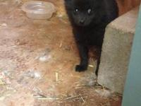 CKC registered pom puppy 8wks old solid black both