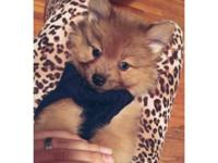 Pom puppy for sale last male ,8 weeks old. Comes with
