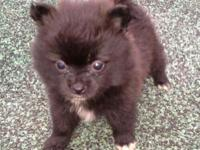 Small black female pomeranian puppy with white chest &