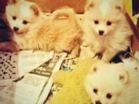 POMERANIAN NEW PUPPY FOR SALE. LOTION AND WHITE. REALLY