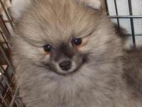 POM PUPPY IS MALE AND OVER 8 WEEKS OLD. HE IS VET
