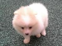 Cream & white parti female pom puppy, born on (6-6-15).