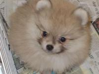 POM PUPPY OUT OF EVE. HE IS A MALE, ORANGE WITH A