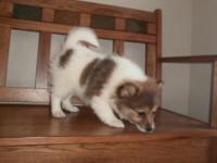 Pomeranian Puppy, female, $400 + $27.50 tax,