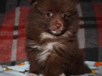 Trav is an adorable Pomeranian Puppy that loves to play