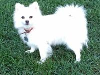 Meet Anya, a white Pomeranian with a tiny bit of cream.