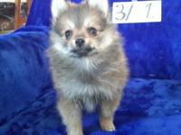 RKM ALVIN is a handsome little red sable male