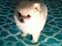 Extra tiny cream female pom puppy! Vet checked,