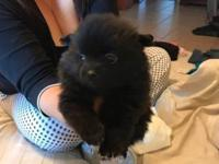 Kidd is a male Pomeranian fullbreed pre-loved will come