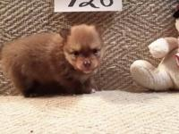 SAMMY CCK2 is adorable little orange and tan male