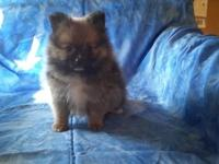 BUDDY LEM1 is an adorable little red sable. He has an