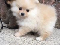 AKC registered. Mother Cream Father Orange Sable