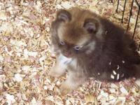 Chocolate Sable male #1 Gorgeous male, he has a huge