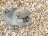Cream Sable male #2.Gorgeous male, he has a huge