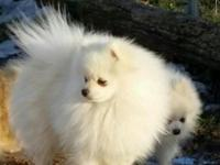 This is PET price. For full AKC breeing rights, add