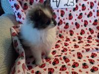 PHANTOM OF THE OPERA (SLMF1) is a adorable little red