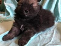 Jake is one of a beautiful litter of sable pomeranians.