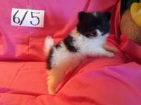 AKC MCF ANNIE is an adorable little parti black female
