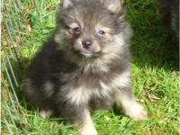 This little Wolf Sable girl is very nice. She's dark