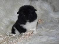 This is Jojo. He is a tiny toy black/white Pomeranian.