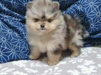 He is a 10 weeks old Merle Pomeranian. Very petite