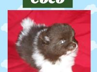 Coco is an AKC chocolate parti boy. Sire is blue and