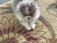 Gorgeous female Pomeranian puppy for sale. She is 4