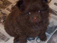 POM PUPPY CHOCOLATE, FEMALE. SHE WILL BE VET CHECKED,
